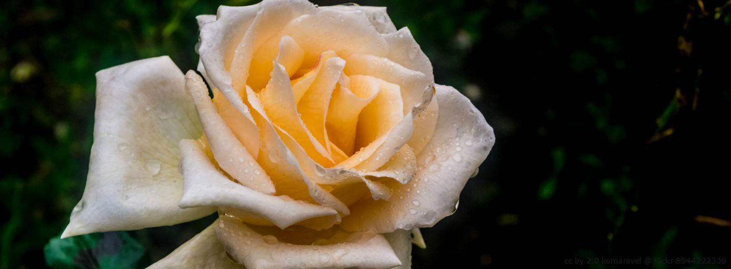 Using rose water has been integral to beauty care for centuries